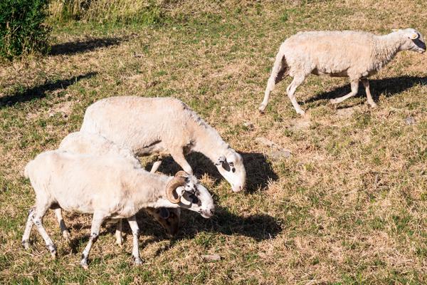 Pecore presenti all'agriturismo La Ti.Mi.Da